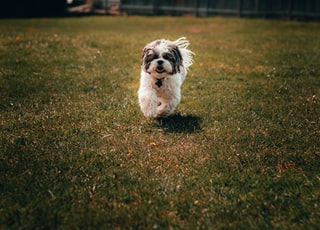 white and black short coated small dog on green grass field during daytime