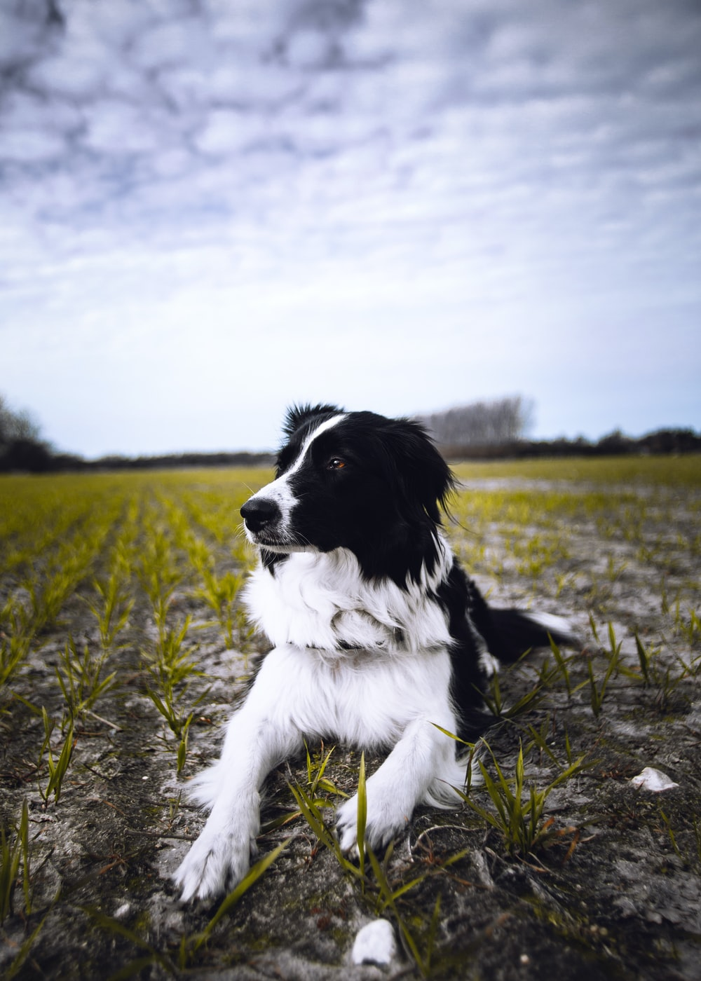 black and white border collie lying on green grass field during daytime
