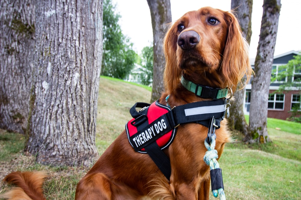 brown long coated dog wearing black and red harness