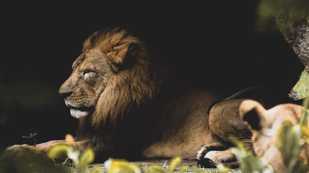 lion lying on green grass