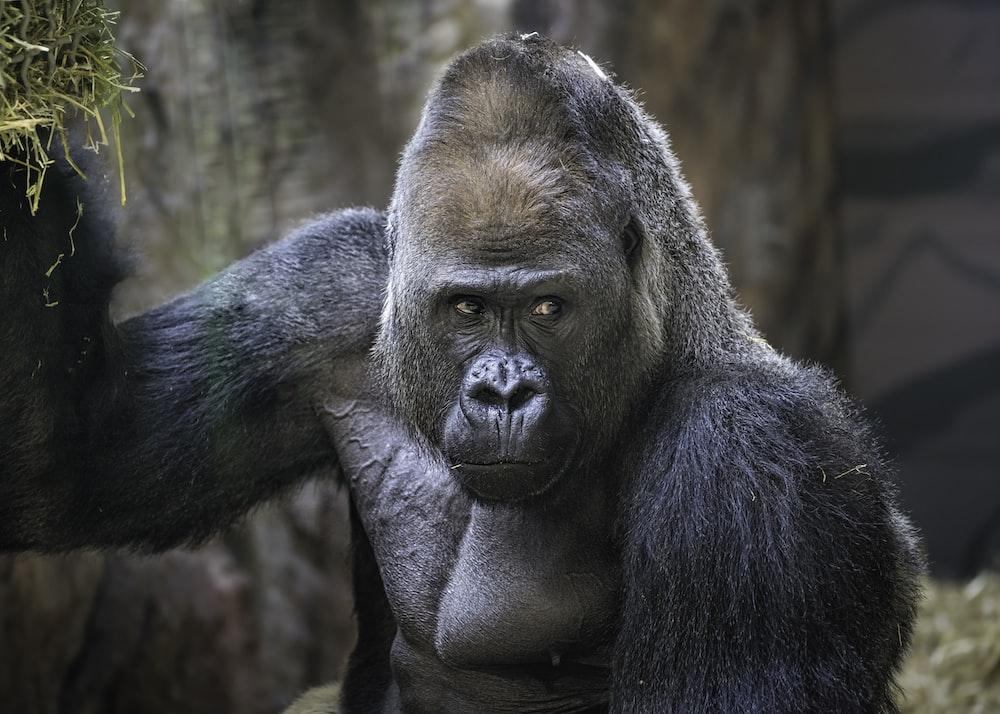 black gorilla on brown tree branch during daytime