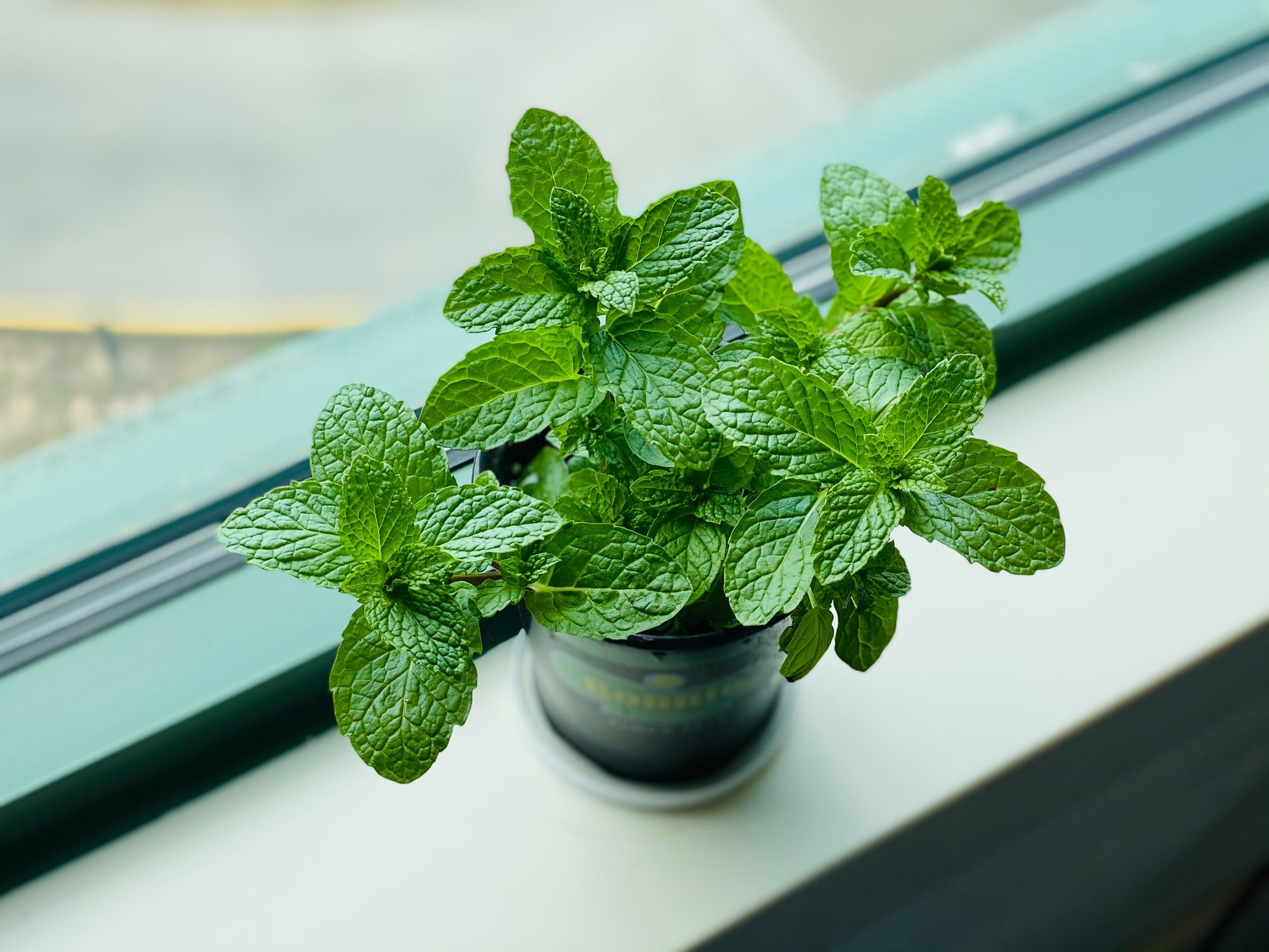 An Attempt at Homemade Mint Essential Oil