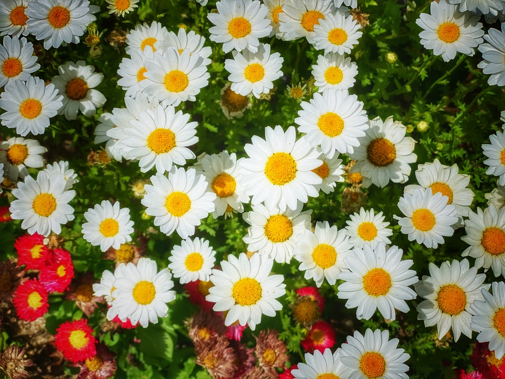 white and red daisy flowers