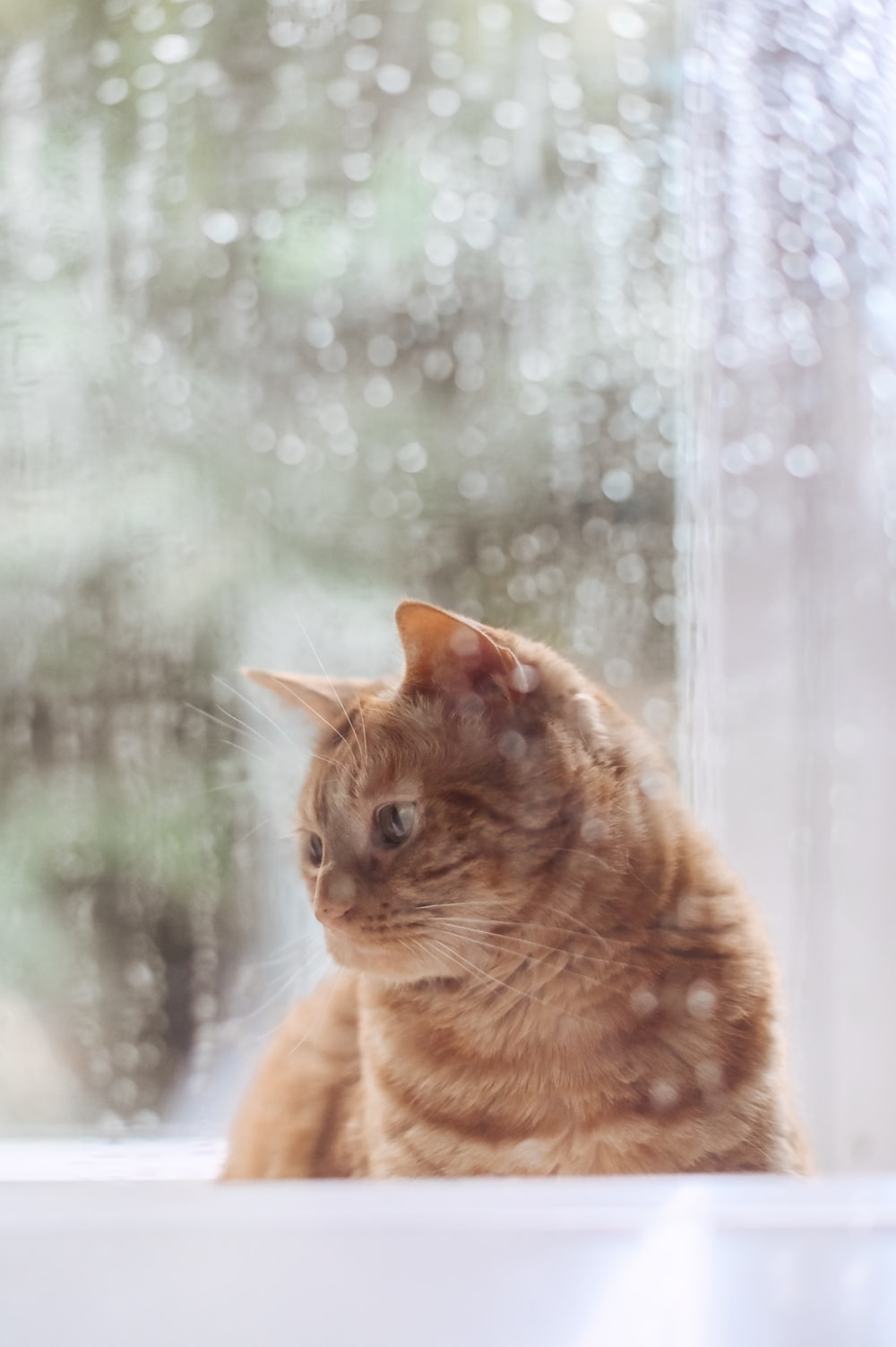 orange tabby cat looking at the window