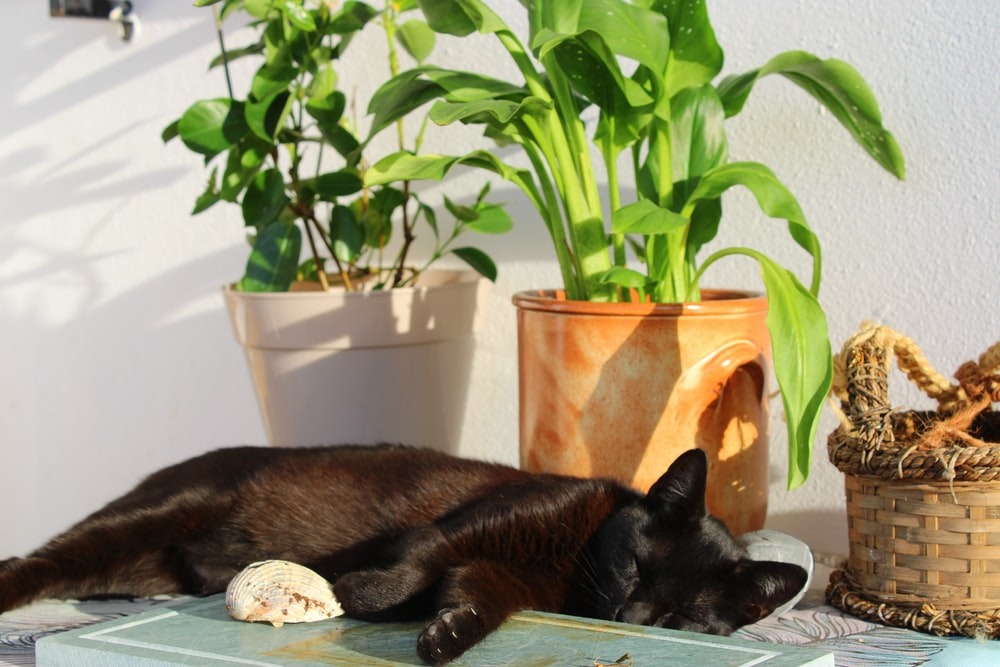 black cat lying on brown wooden table
