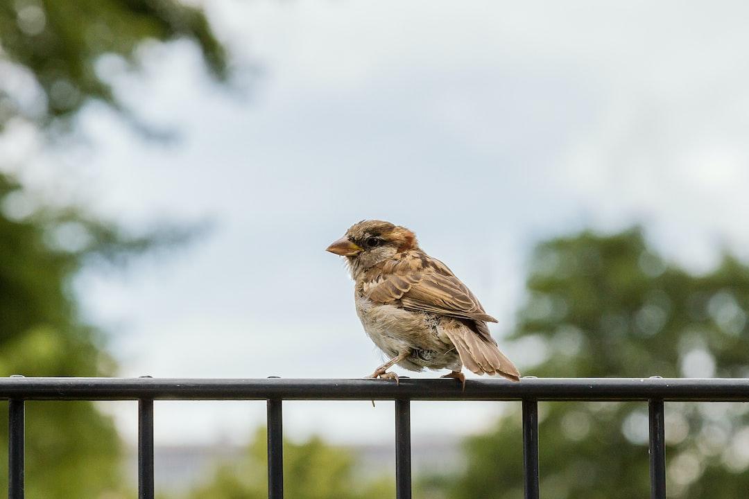 A little House Sparrow