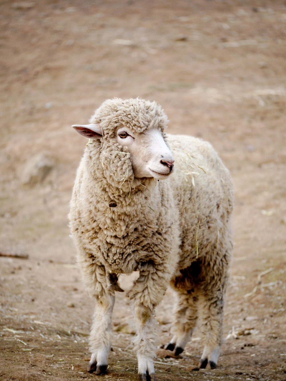 white sheep on brown field during daytime