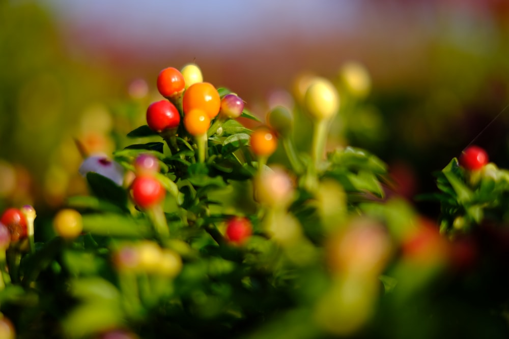 red and yellow round fruits