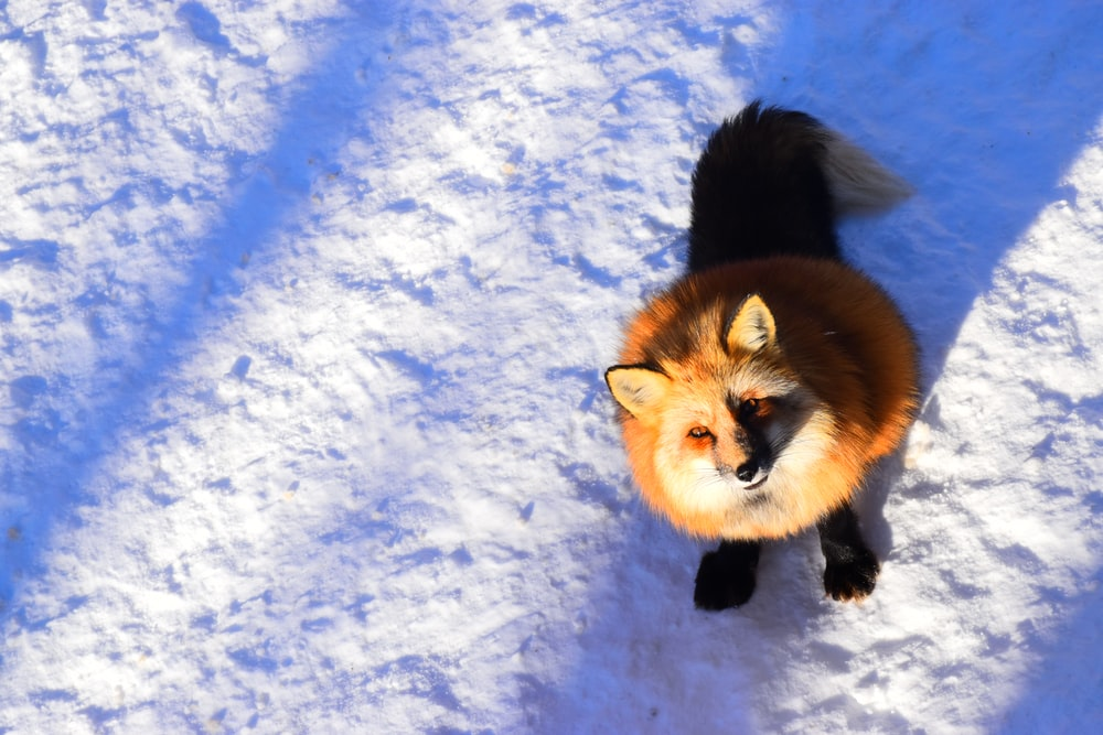 brown and black fox on snow covered ground
