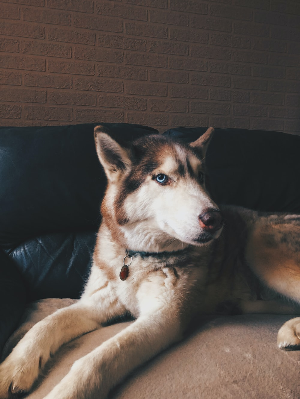 white and brown siberian husky lying on black couch