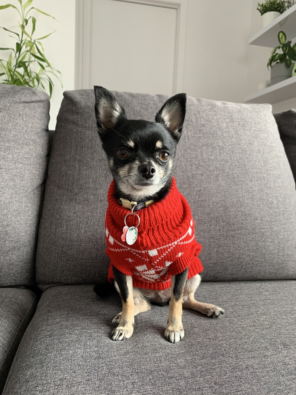 black and brown chihuahua wearing red shirt sitting on gray sofa