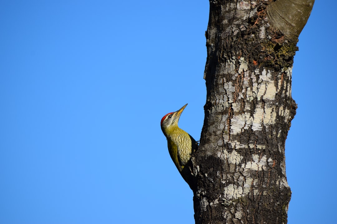 Beautiful Woodpecker on a tree trunk.  Closeup photo with clarity