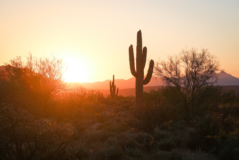 silhouette of cactus during sunset