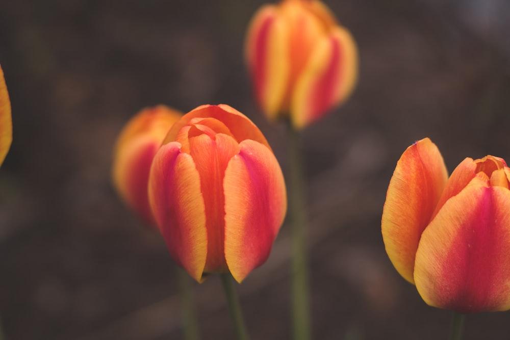 orange tulip in bloom during daytime