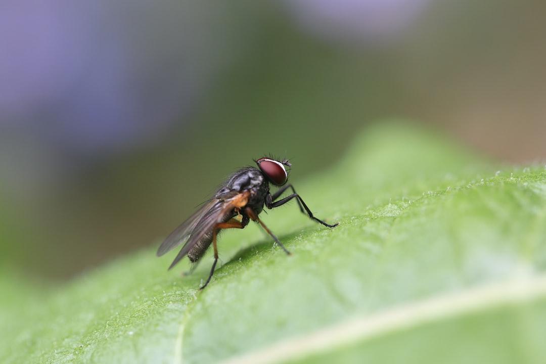Fly on a dandelion leaf