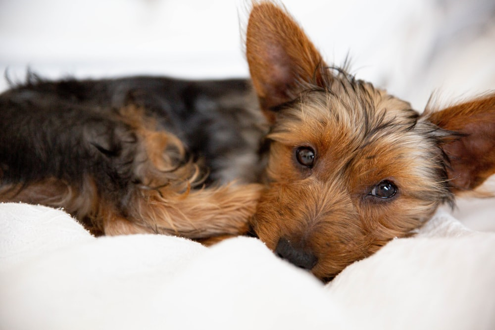 brown and black yorkshire terrier puppy lying on white textile