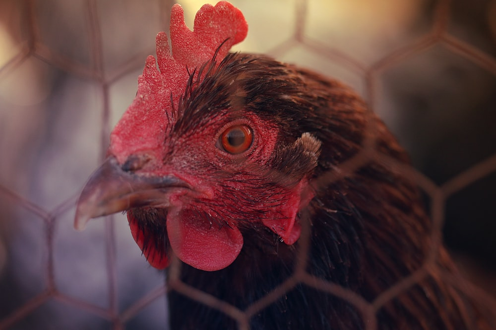 brown rooster in cage during daytime