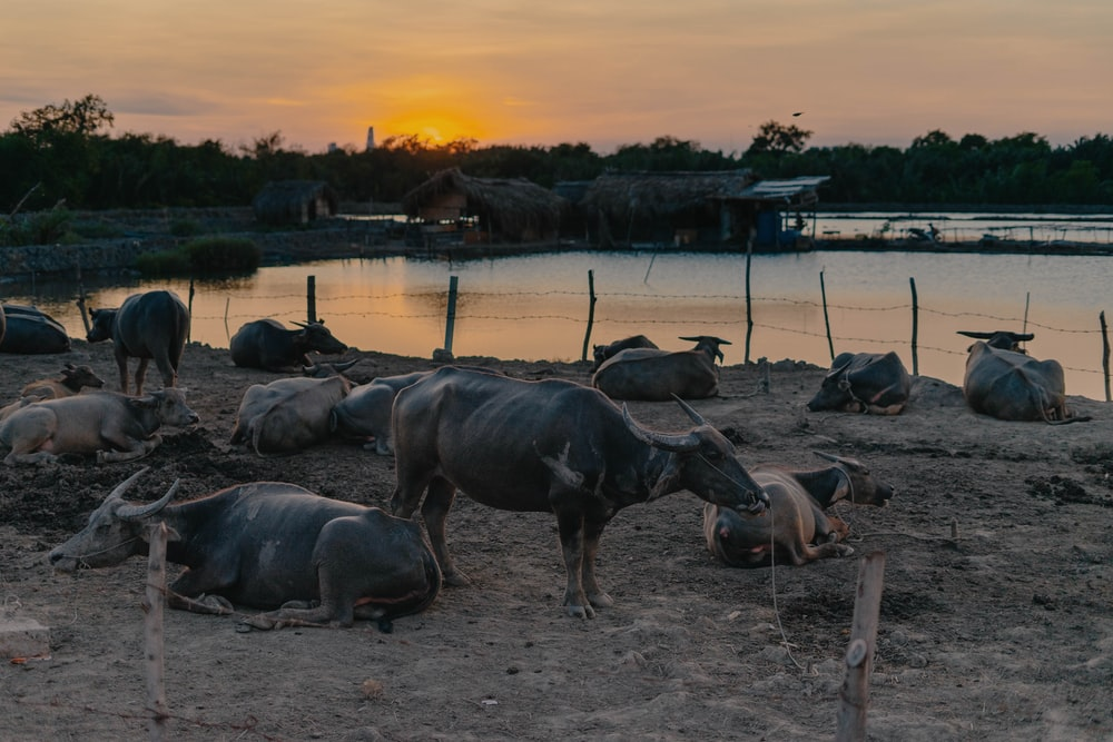 black water buffalo on water during sunset