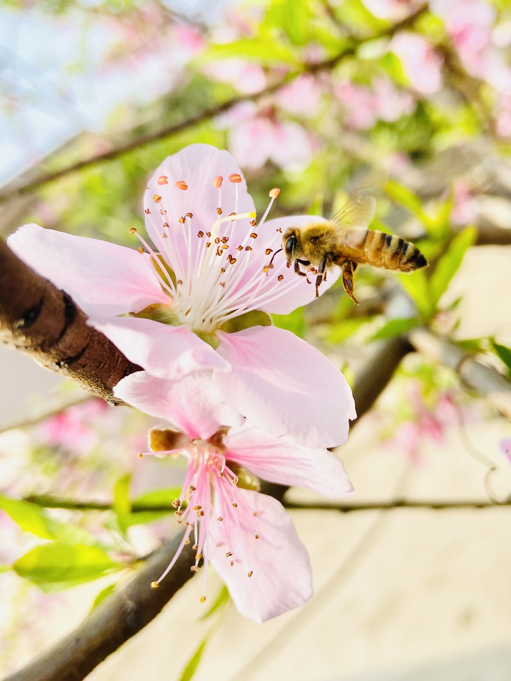 honeybee perched on pink flower during daytime