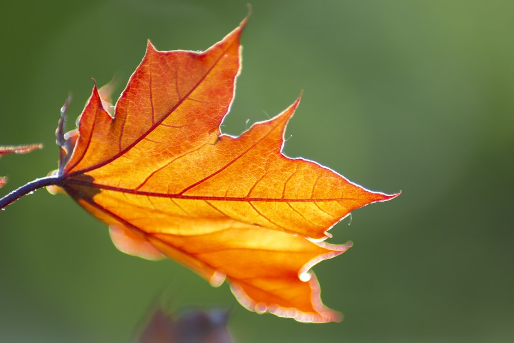 yellow and red maple leaf