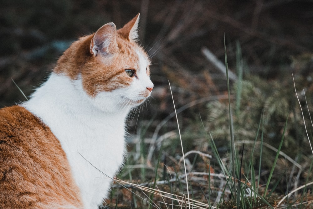 orange and white cat on brown grass