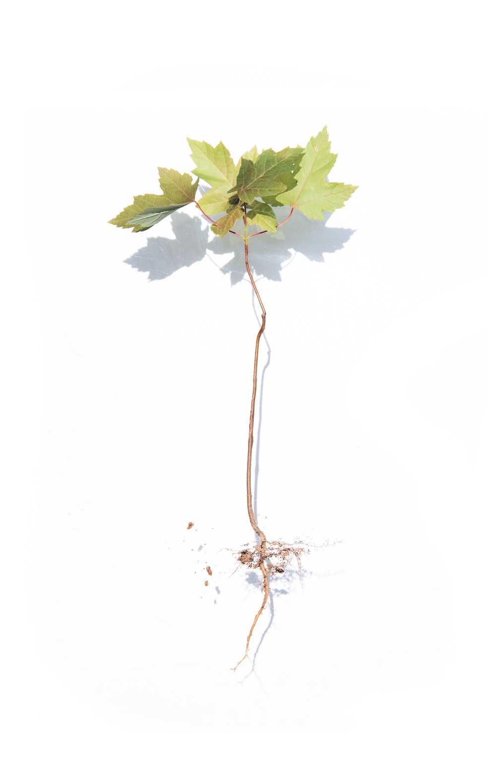 green maple leaf on white background