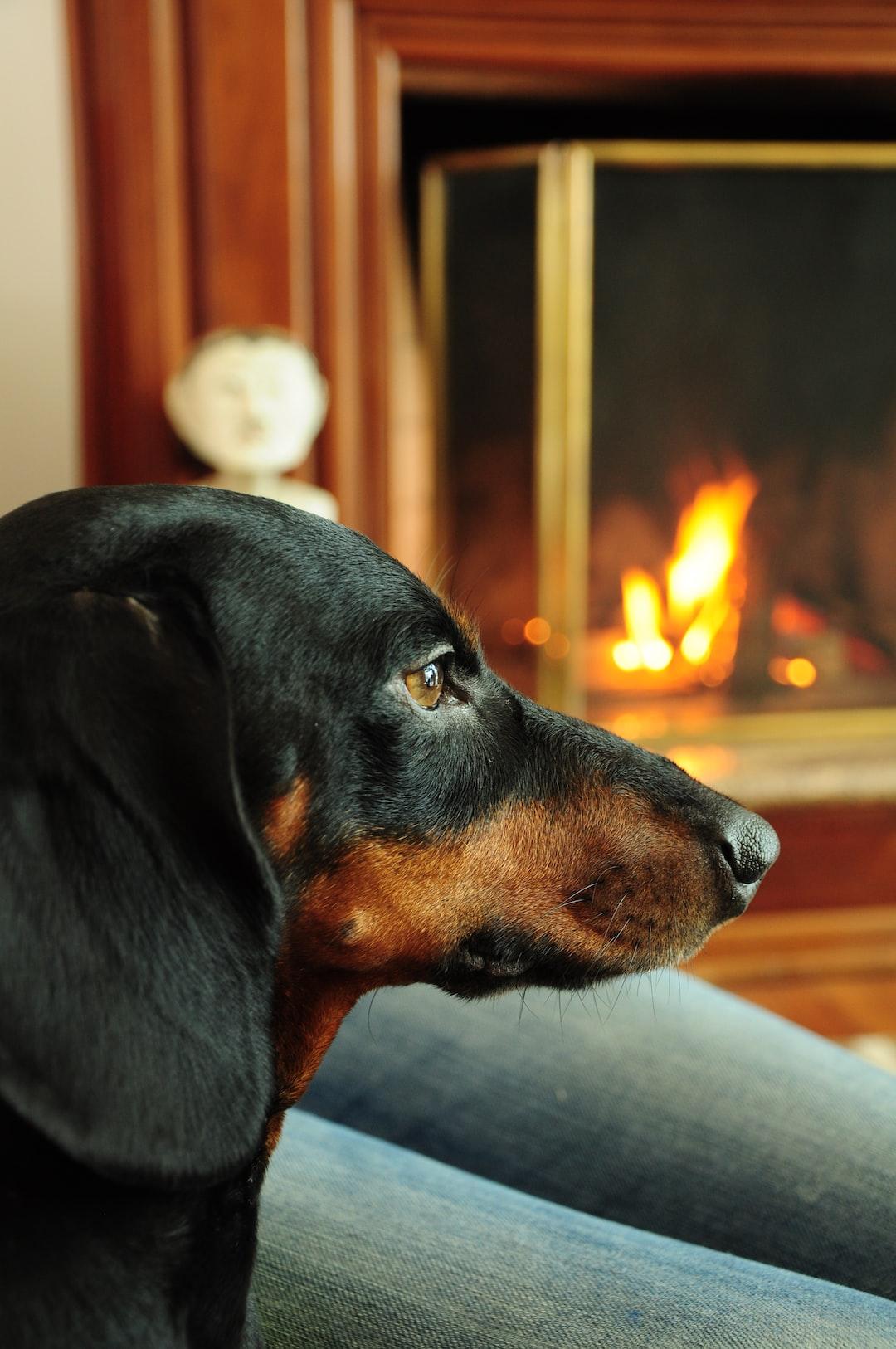 Dachshund dog profile