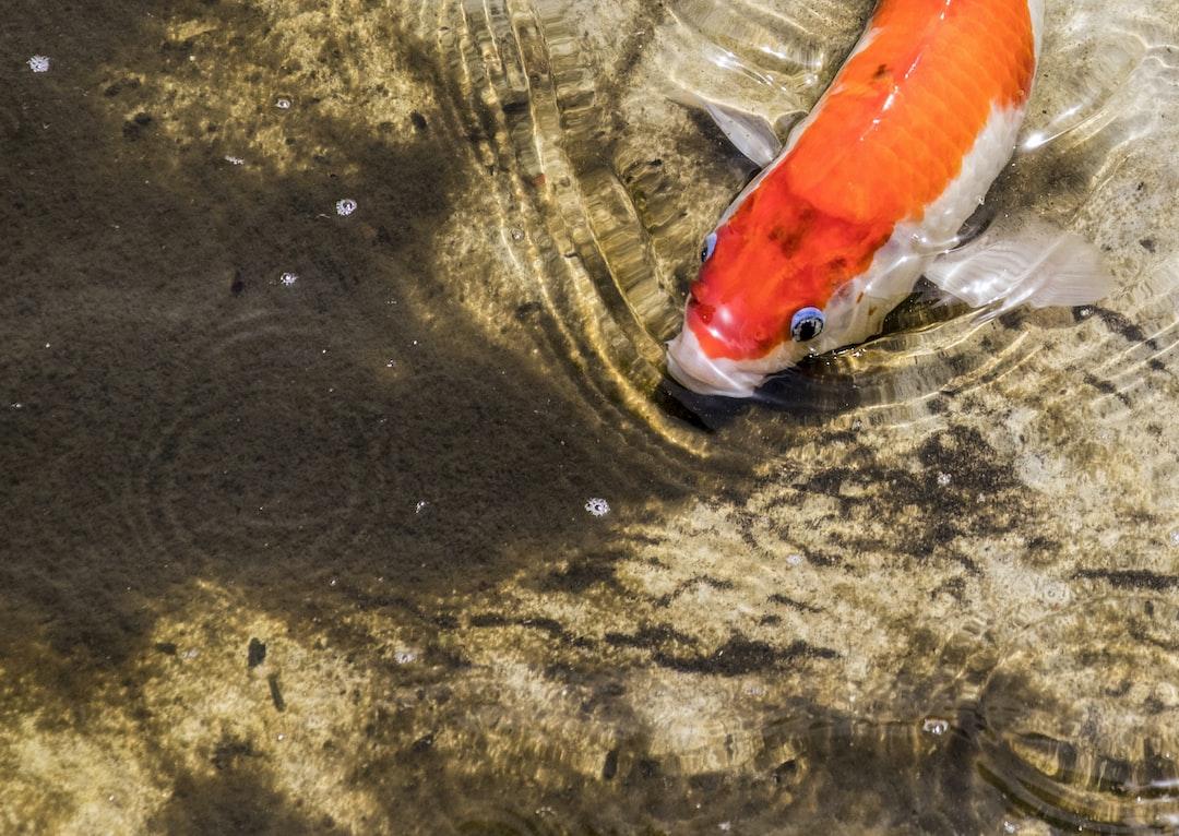 Langkah Mudah Bedakan Ikan Koi Jantan Dan Betina