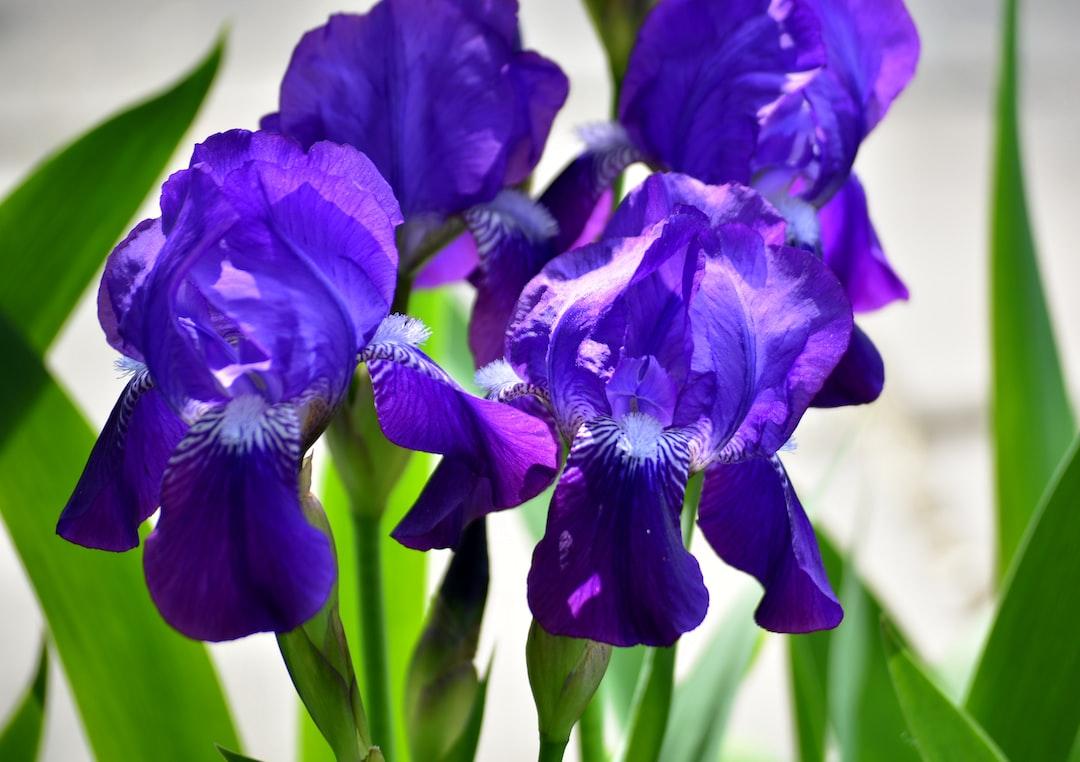 Blue handsomes.  Sun-lit blue irises, arranged in a row as a single team of winners.