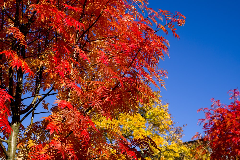 red and yellow leaves tree under blue sky during daytime