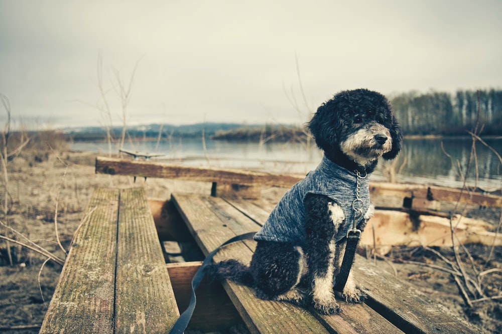 black and white poodle sitting on brown wooden bench during daytime