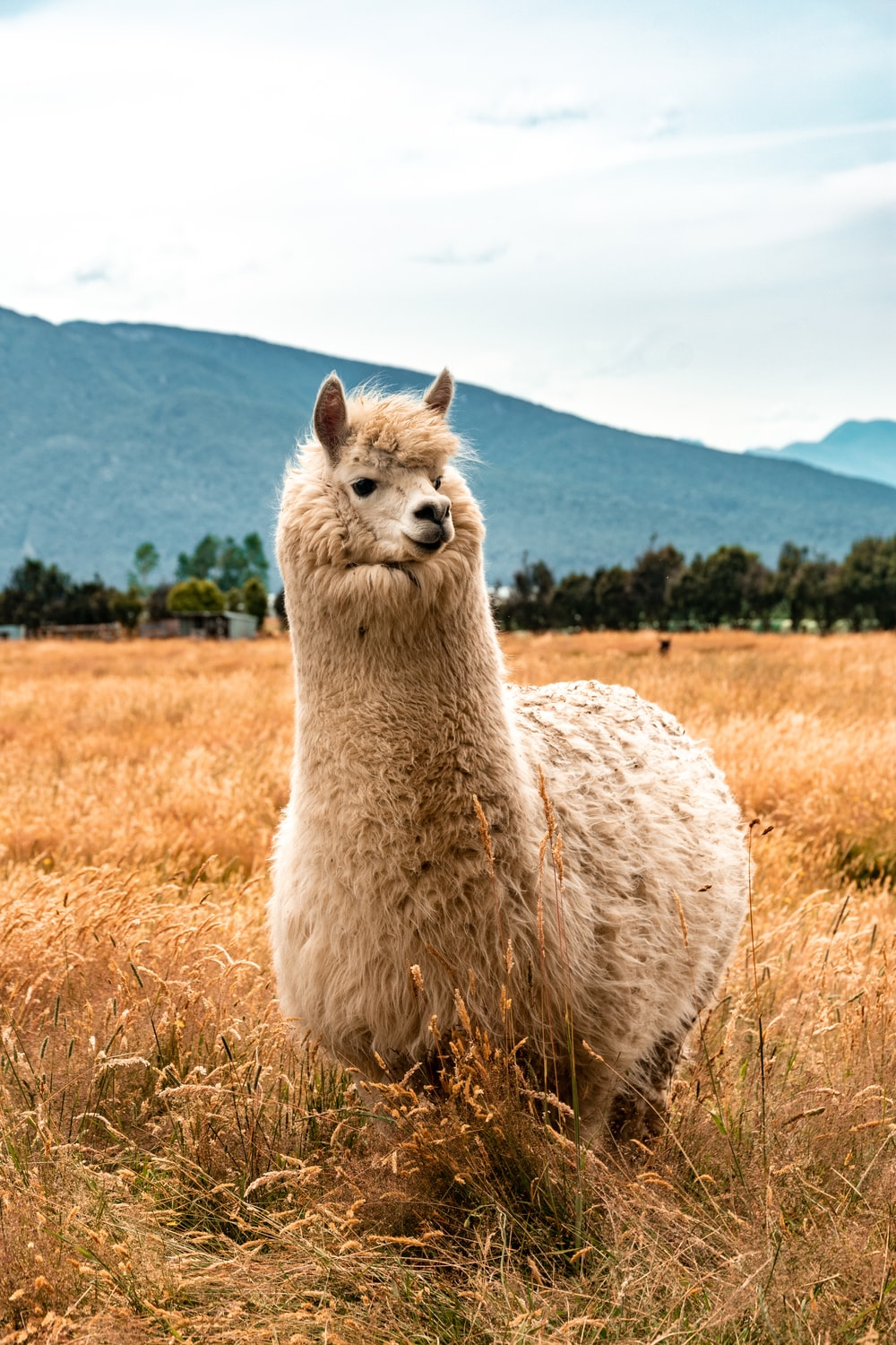 white llama on brown grass field during daytime