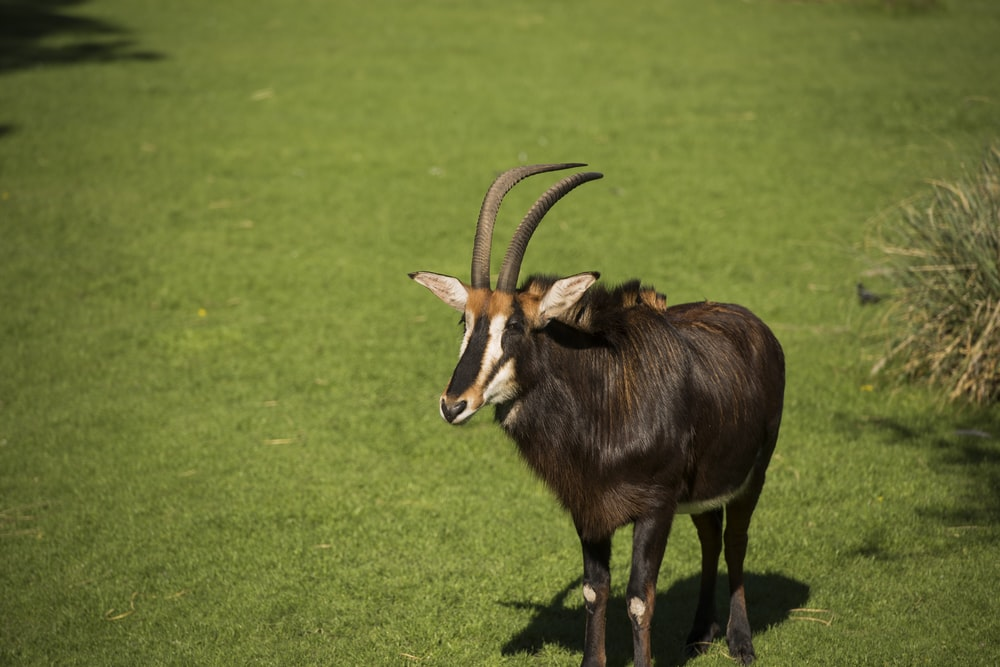brown and black animal on green grass field during daytime
