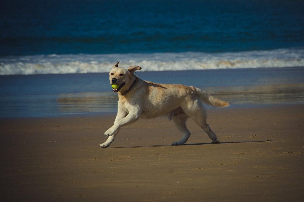 yellow labrador retriever lying on beach sand during daytime