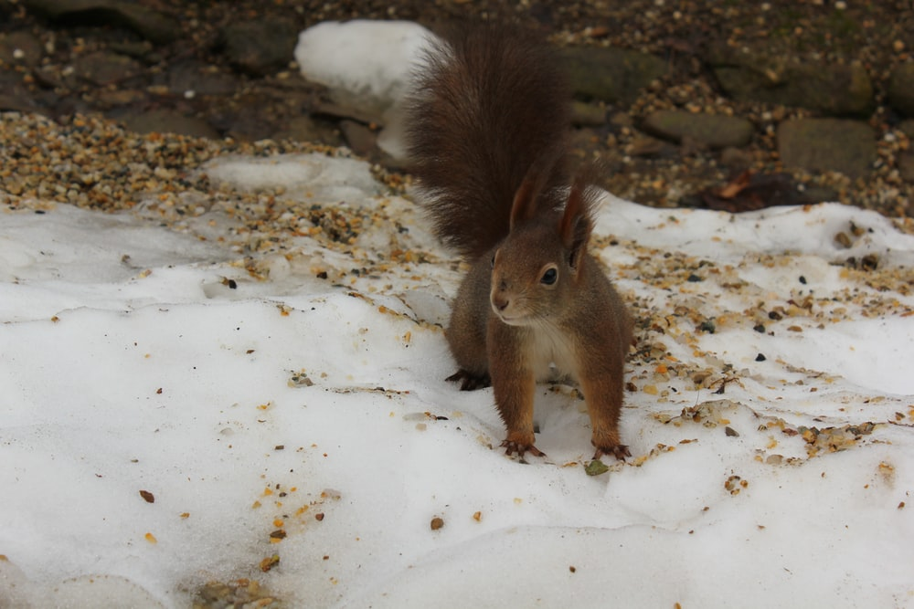 brown squirrel on snow covered ground during daytime