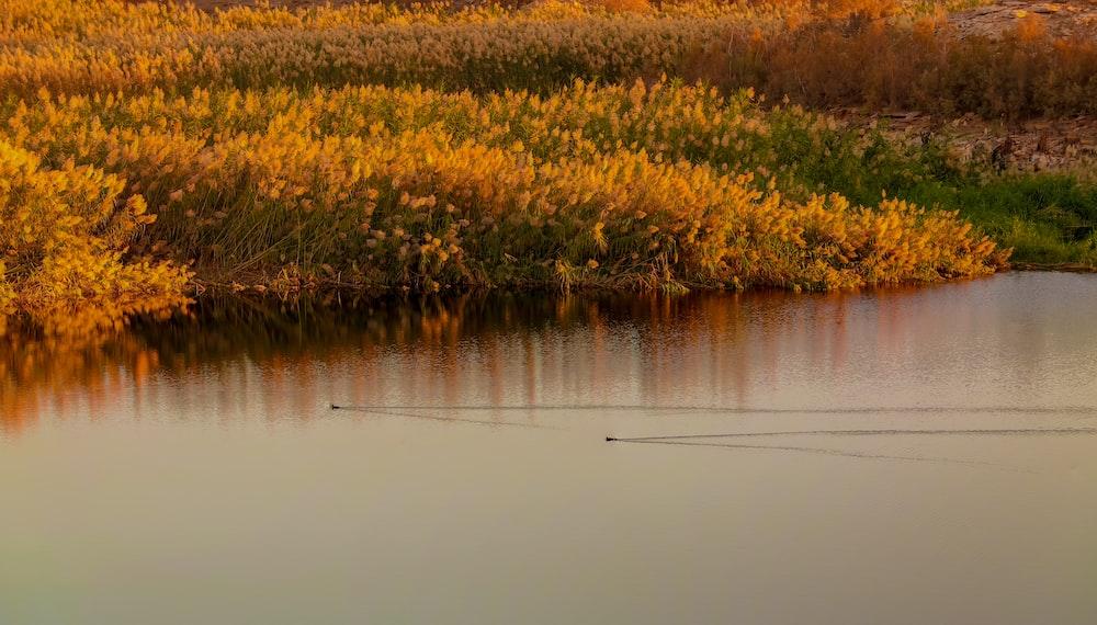 yellow flower field beside lake during daytime