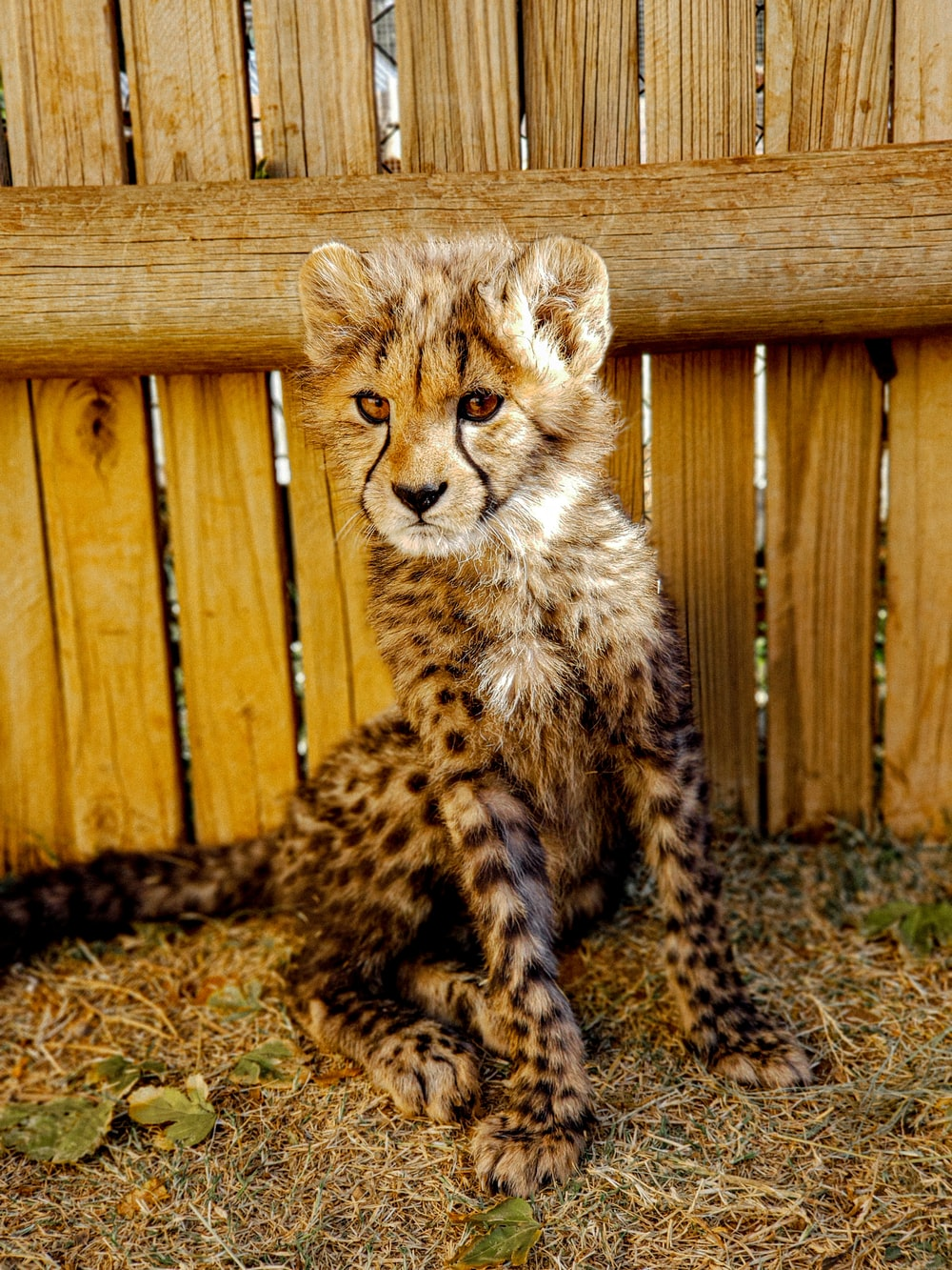 cheetah sitting on brown wooden bench