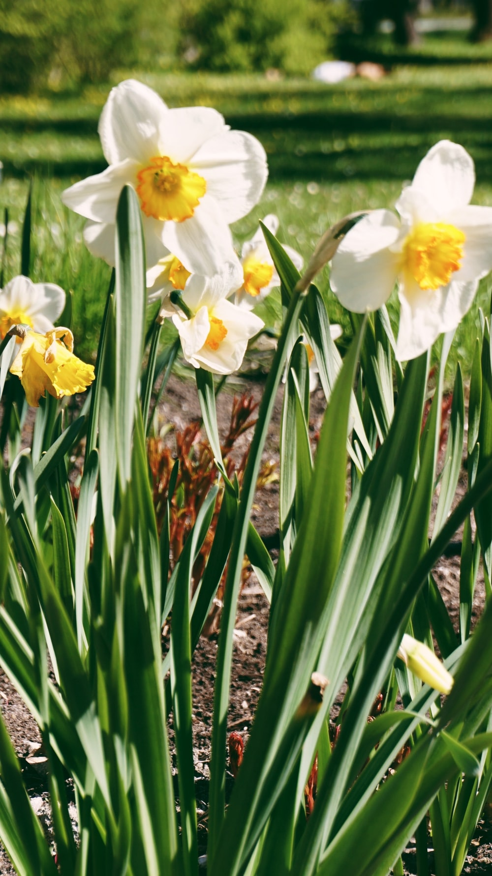 yellow daffodils in bloom during daytime