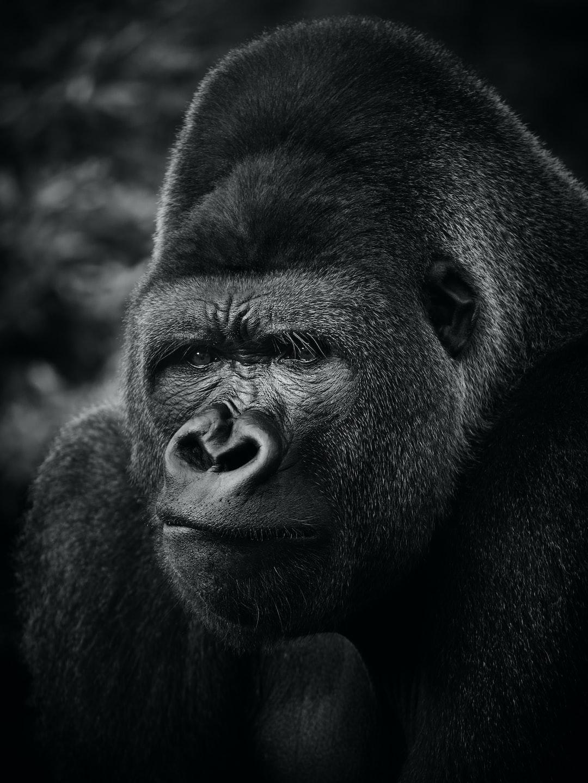 A beautiful gorilla