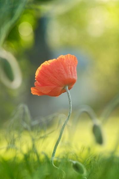 orange poppy in bloom during daytime