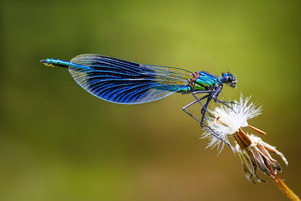 blue damselfly perched on white flower in close up photography during daytime