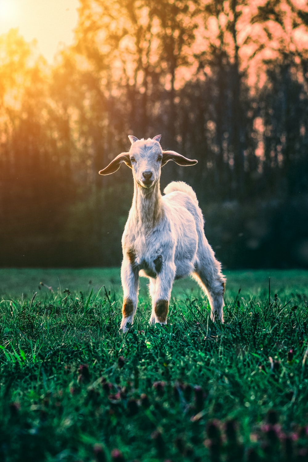 white goat on green grass field during daytime