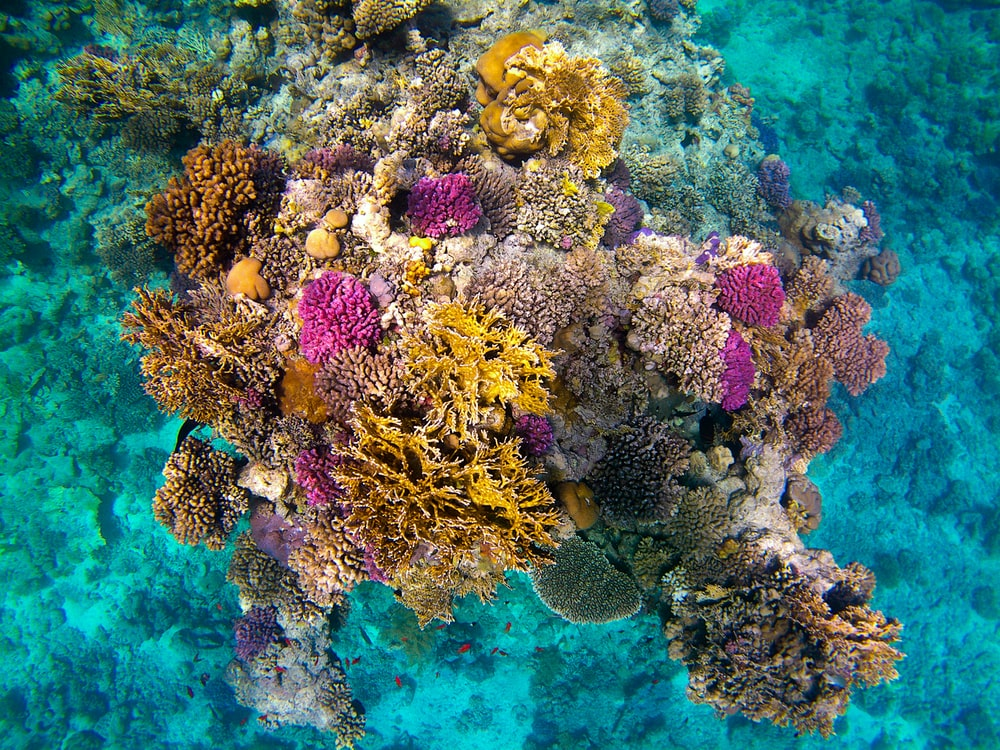pink and brown coral reef