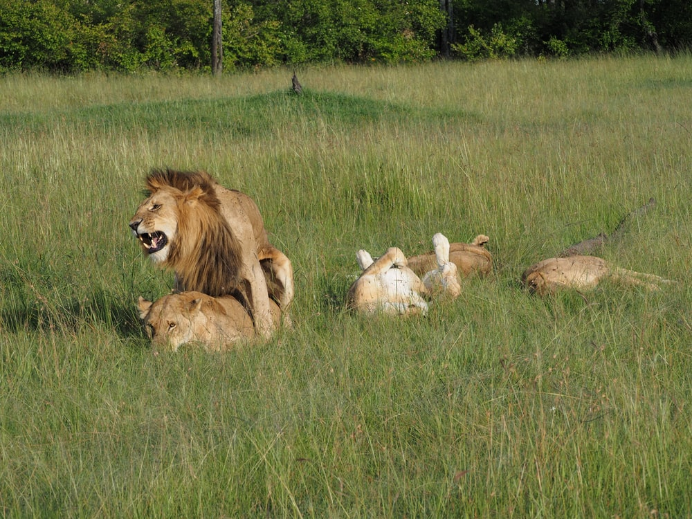 lion and lioness on green grass field during daytime