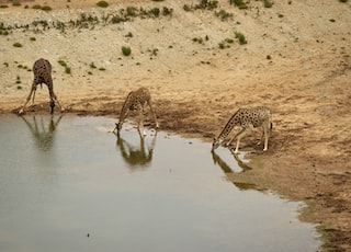 brown and black giraffes on brown sand during daytime