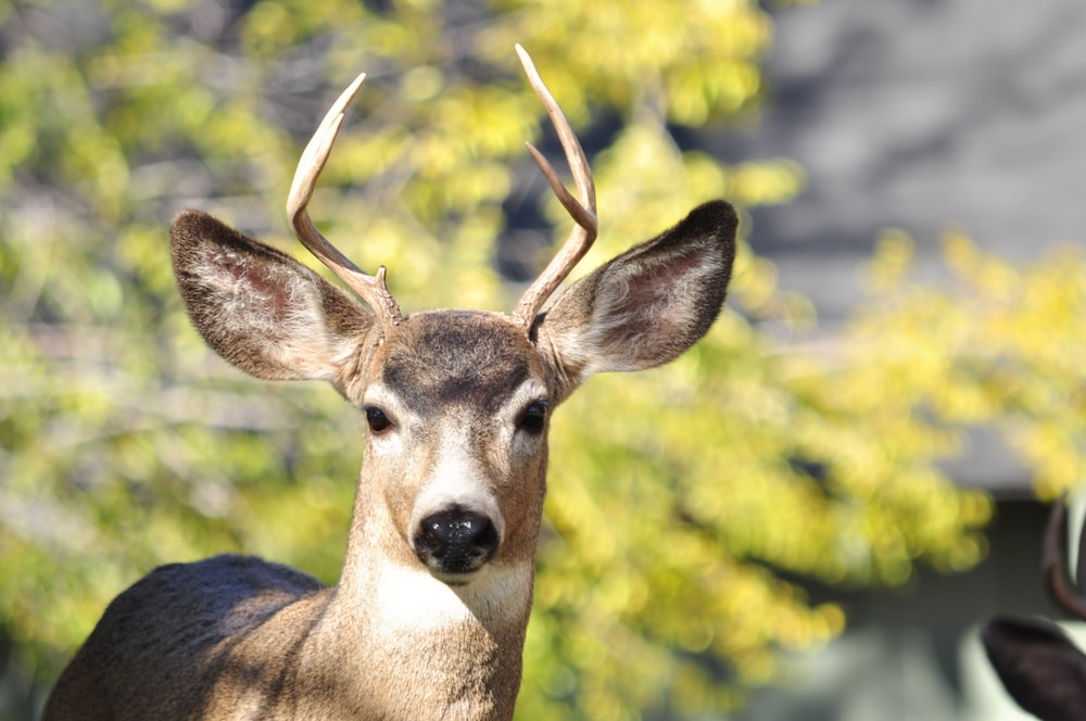 brown deer in tilt shift lens