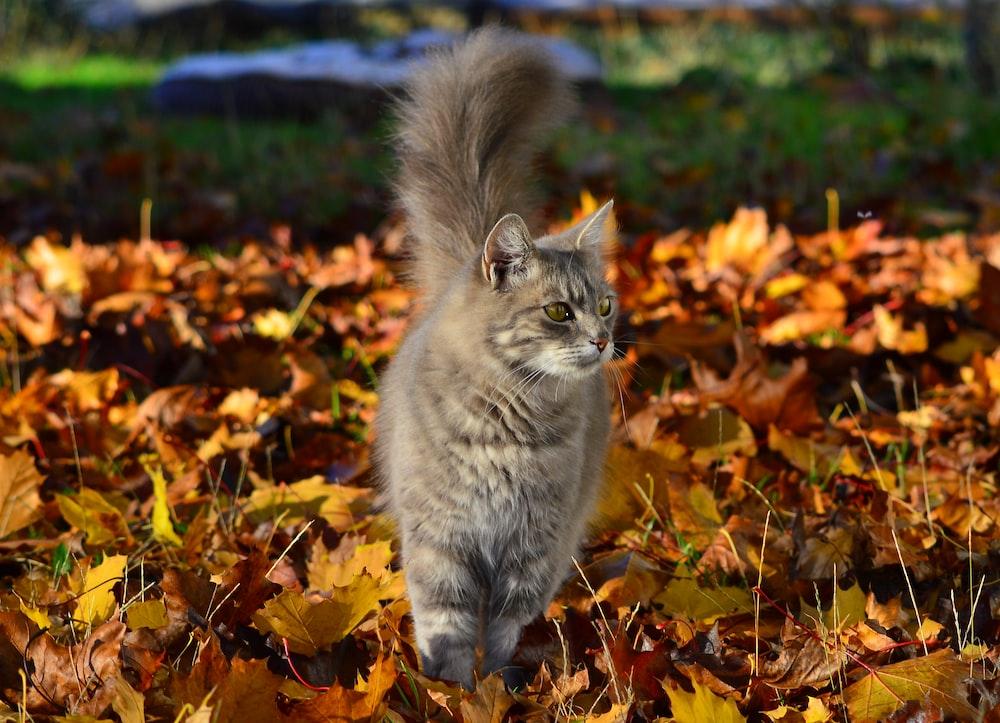 grey tabby cat on brown leaves