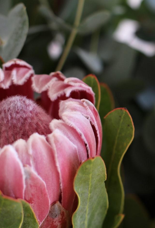 Protea outdoors