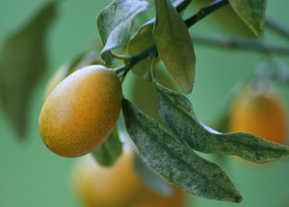 yellow round fruit on tree branch