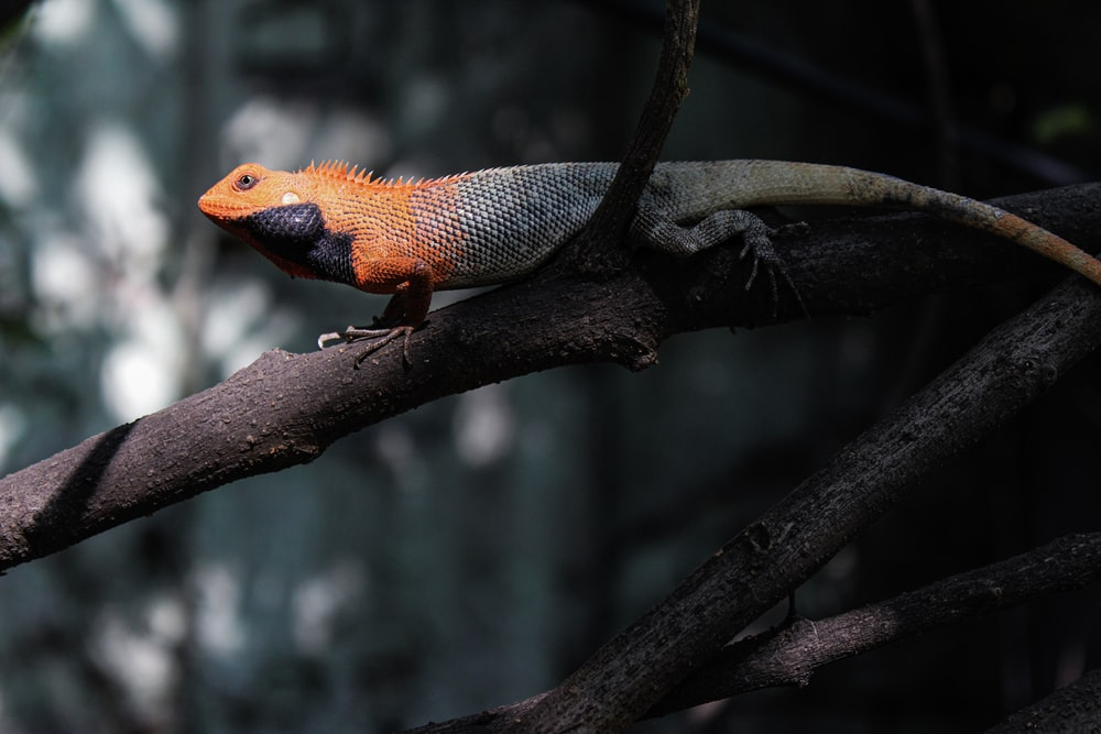 orange and white bearded dragon on brown tree branch